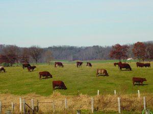HIGH RES Hasheider cattle on field_DSC02043 smaller