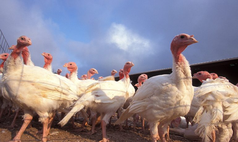 Avian Influenza Detected in Chippewa County Turkey Flock
