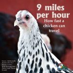 Poultry Facts3
