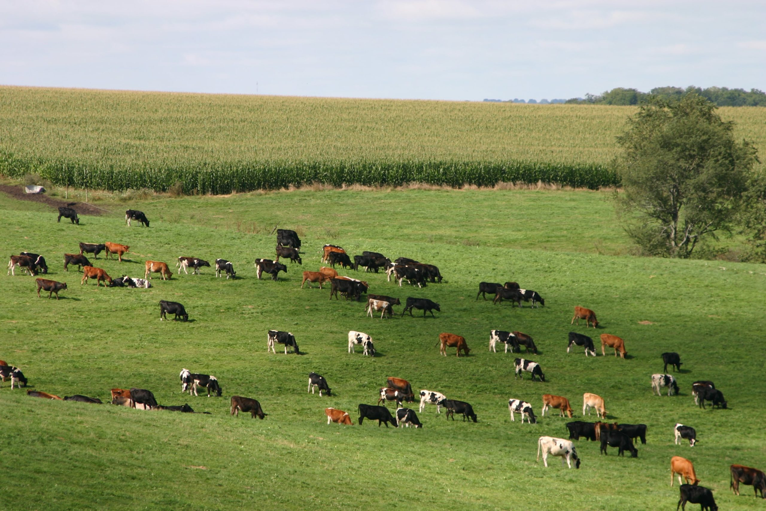 Dairy herd in pasture2