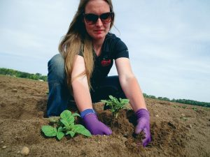 Lynn Dickman potato plant