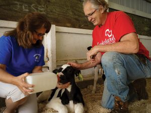Prestruds bottle feeding calf-1