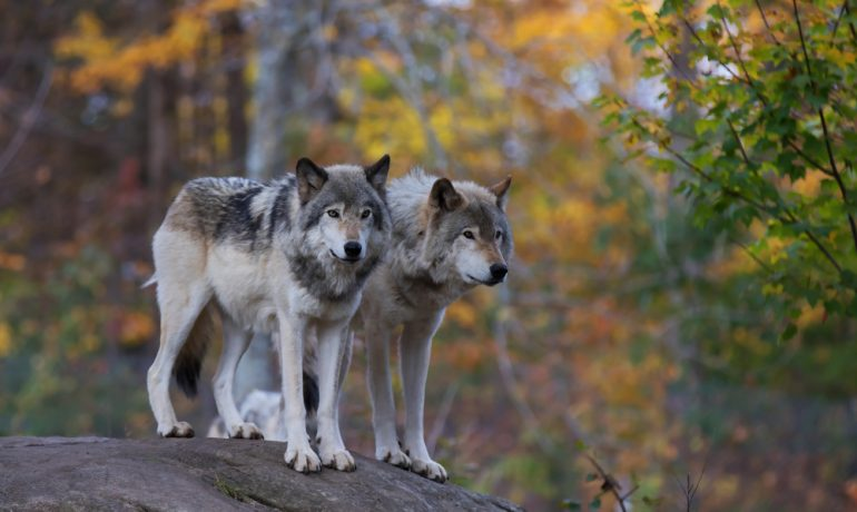 Two wolves in woods
